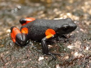 Mantella cowani frog